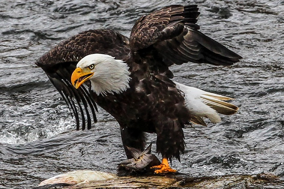 Eagles in the River of No Return Wilderness