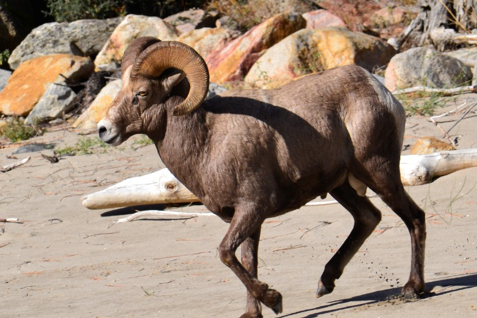 Idaho's Big Horn Sheep