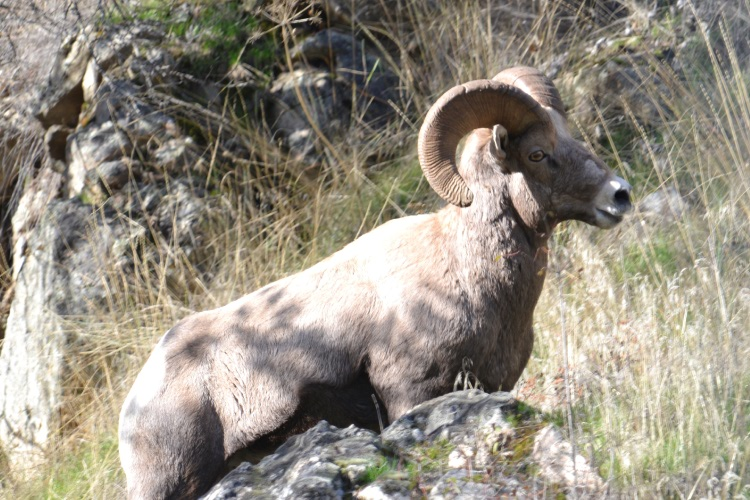 big horn sheep in hells canyon