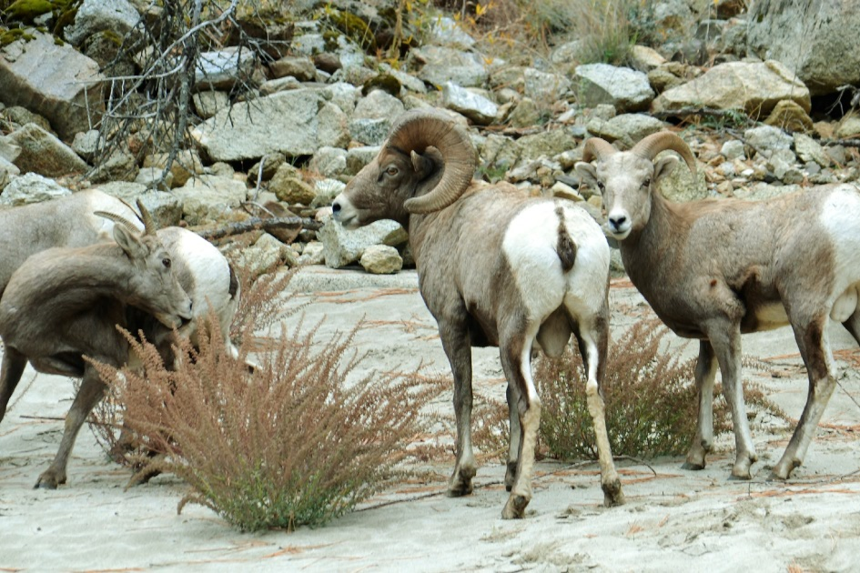 Salmon River of No Return Wilderness Big Horn Sheep